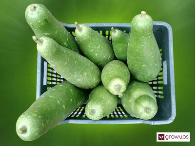 Shadher Lau (Bottle Gourd) 2 piece - Growups Grocers