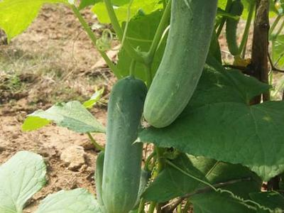 Organic Cucumber:Leisure Innocent- Growups Grocers